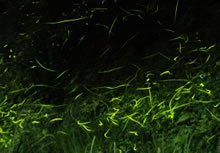 firefly_img01